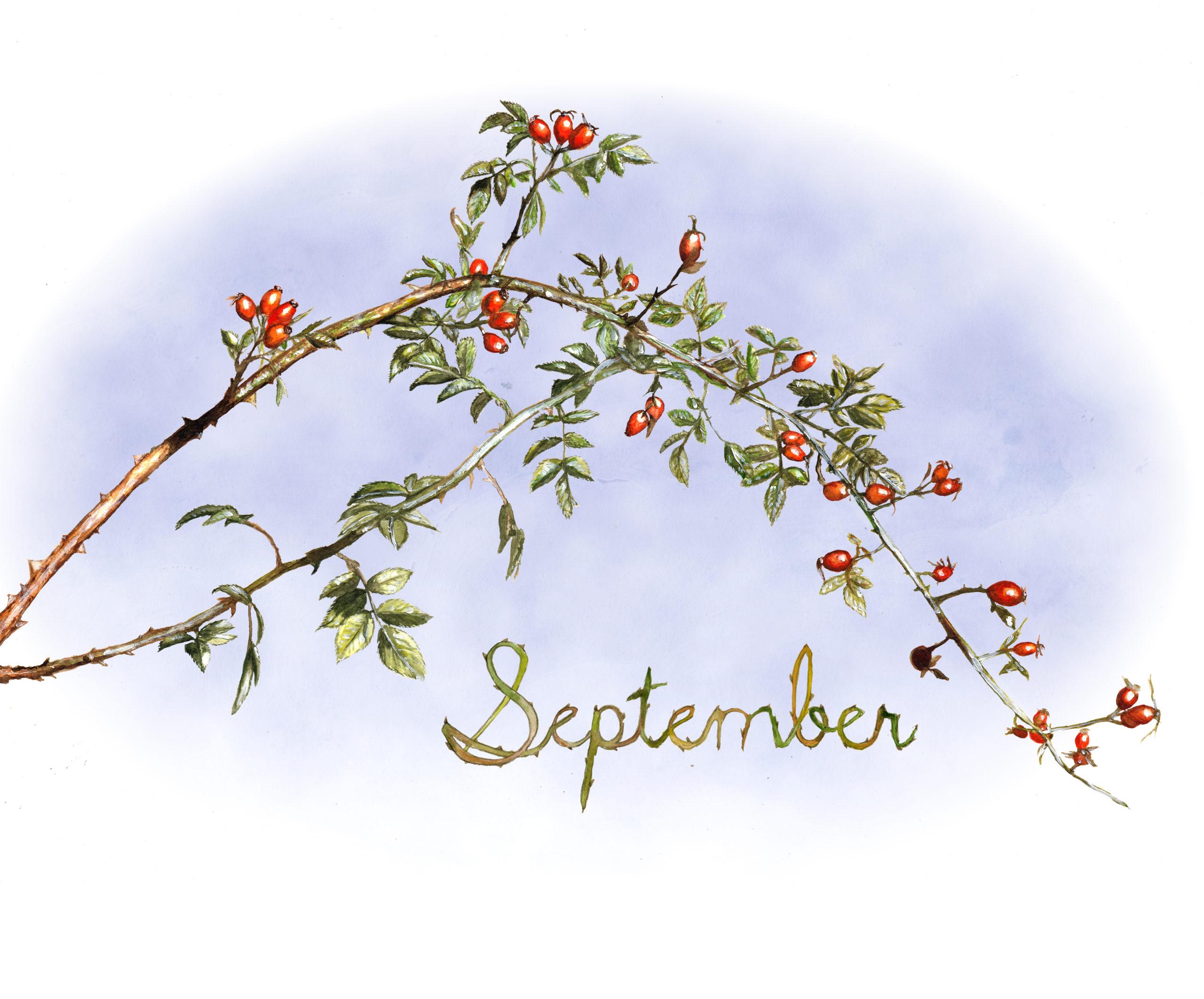 September Rose hips